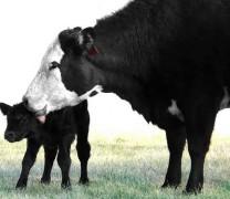 Como um bebe-vaca